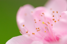 close up of peach flower with green background