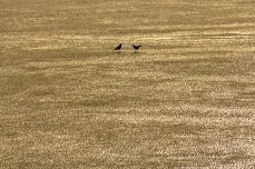 silhouette of two crows on the ice