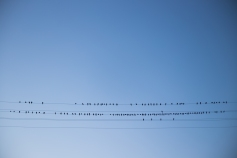 pigeon on wire